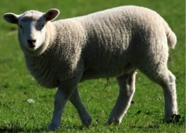 Schaf / Lamm – Fleischsorten